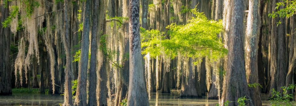 Caddo Swamp 1