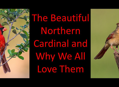 The Beautiful Northern Cardinals and Why We All Love Them