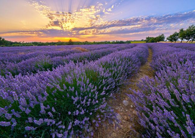 Lavender Field Provence