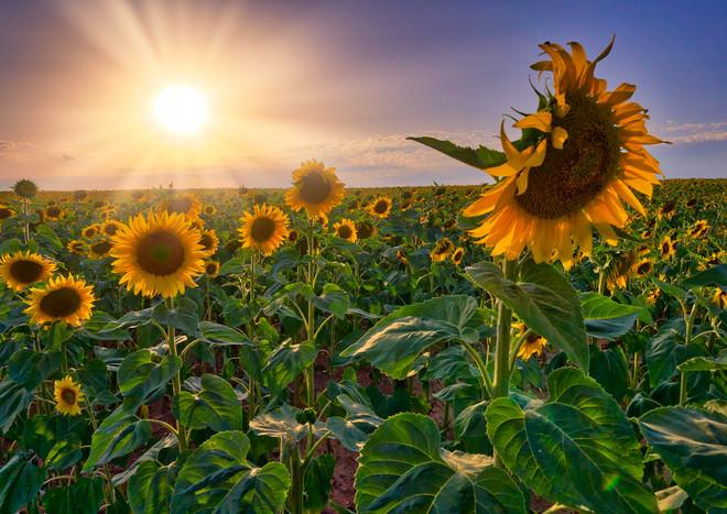 Sunset on a  Sunflower Field, Provence, France.