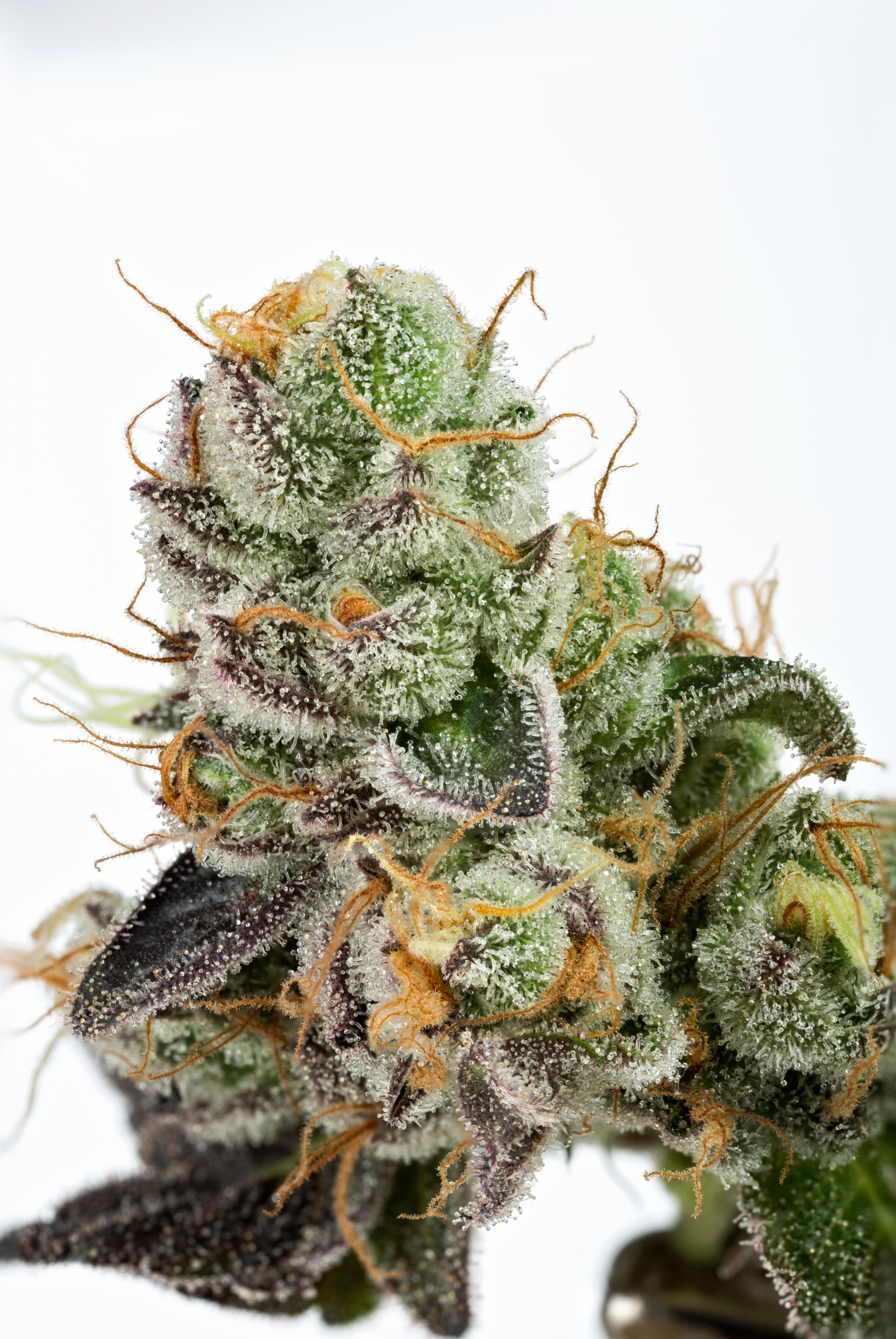 GMO16