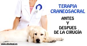 Terapia Craneosacral para Animales antes y después de una cirugía