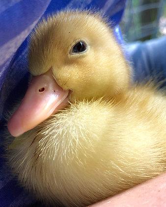 Pekin Duckling