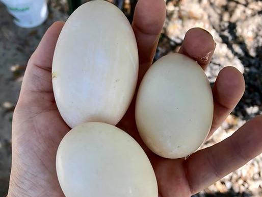 What Makes Duck Eggs so Egg-cellent?