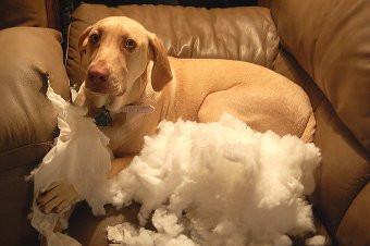 Dogs with separation anxiety destroy furniture, bedding, household items.