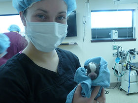 C-section delivery in surgery at Alpine Animal Clinic.