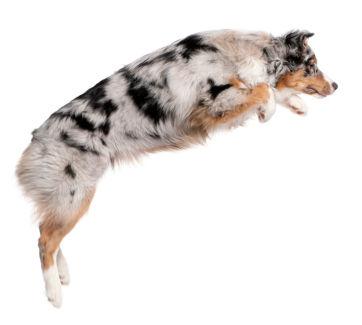 Jumping Aussie excellent spine function