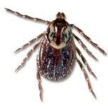 Brown deer tick, carriers of disease.