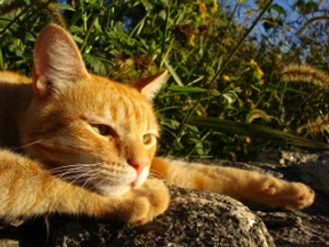 Orange tabby cat: outdoor cats have high risk without vaccinations.