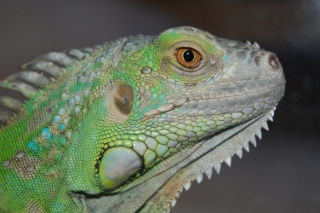 Green Iguanas and other reptiles develop metabolic disease without proper lighting.