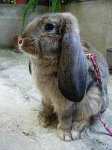 Pet rabbit on a leash makes a wonderful pet!