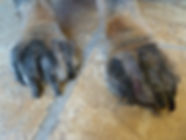 Food allergies commonly cause dogs to lick and chew toe nails and feet.