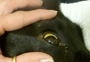 Yellow color in the sclera of the eye in this dog with IMHA.