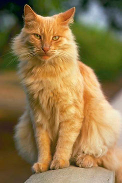 Hyperthyroidism in cats causes weight loss, vomiting, and dry coat.
