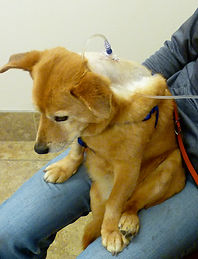 This Corgi with kidney disease has had a SubCu port for several years, giving great quality of life.