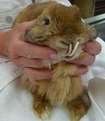 Over-grown rabbits teeth causing malnutrition.
