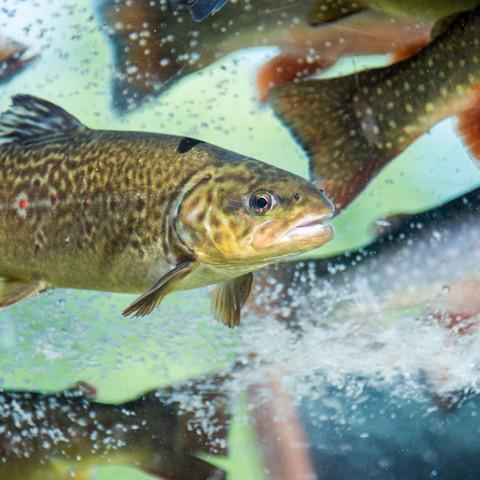 Forellen, Saiblinge und Lachs aus nachhaltigem Fang