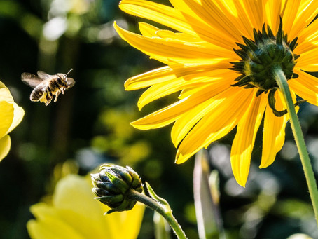 The Cape Floral Kingdom and its symbiotic relationship with local honeybees.