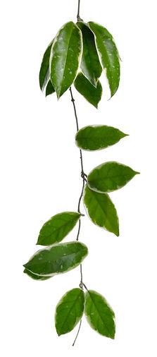 Hoya souches