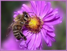 Nos amies les abeilles...