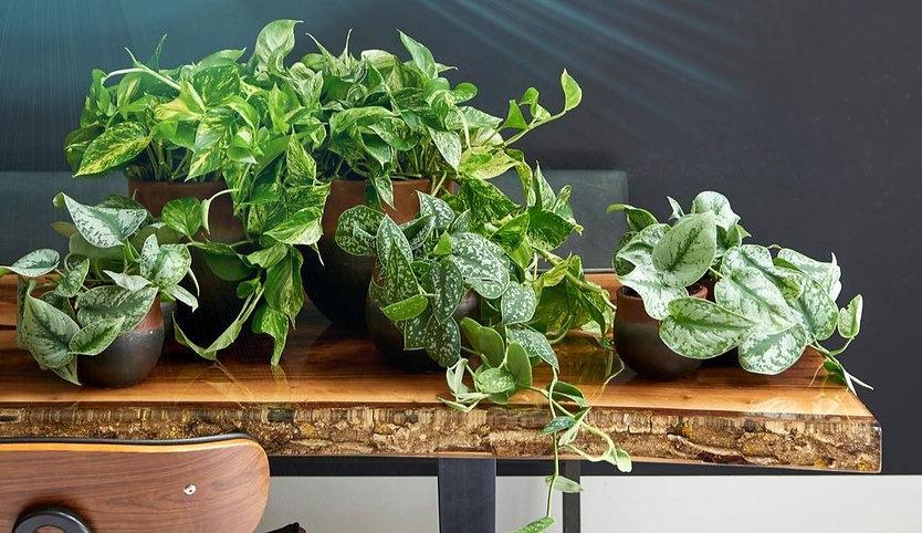Photo de plantes naturelles en hydroculture proposée par Végétal Tendance en Suisse