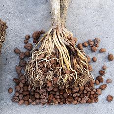 Végétal Tendance racines hydro