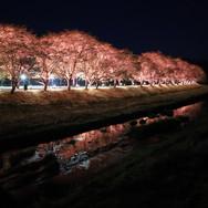 괴산군 청안면 벚꽃길