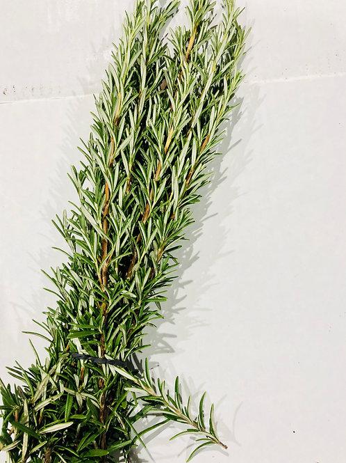Rosemary (Rosmarinus)