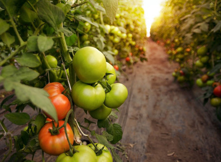 Growing Beyond-Organic Tomatoes