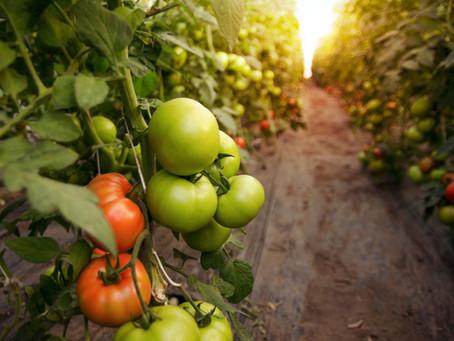 Growing Beyond-Organic Tomatoes
