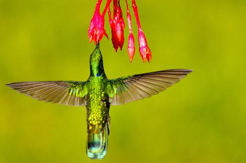 Colibri d'Anaïs