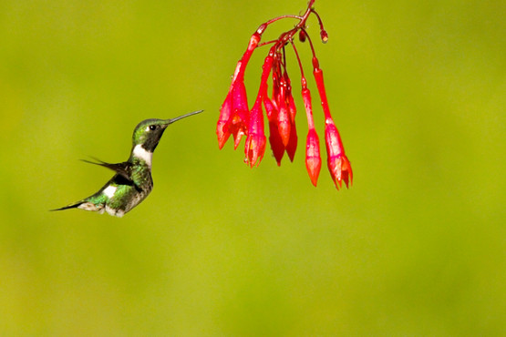 Colibri de Mulsant (M)