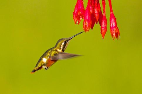 Colibri de Mulsant (F)
