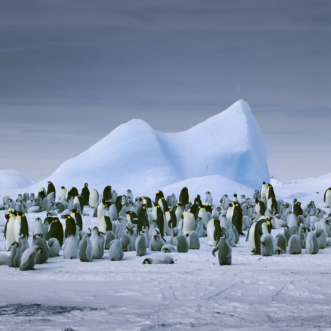 Emperor Penguins and Iceberg
