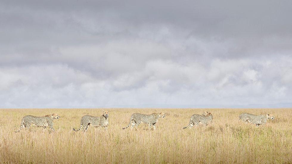 Cheeta Coalition, Maasai Mara, Kenya 2019