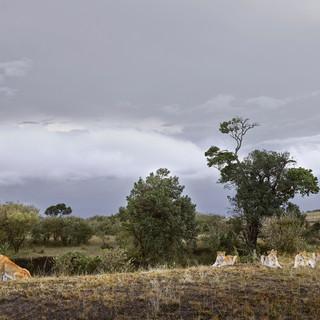 Lioness and Four Cubs Rivers Edge Maasa, Kenya 2019