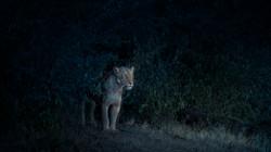 Nocturne (Lioness), Maasai Mara, Kenya,
