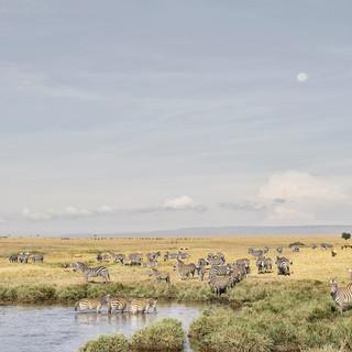 Zebras at Watering Hole, Maasai Mara, Kenya 2019