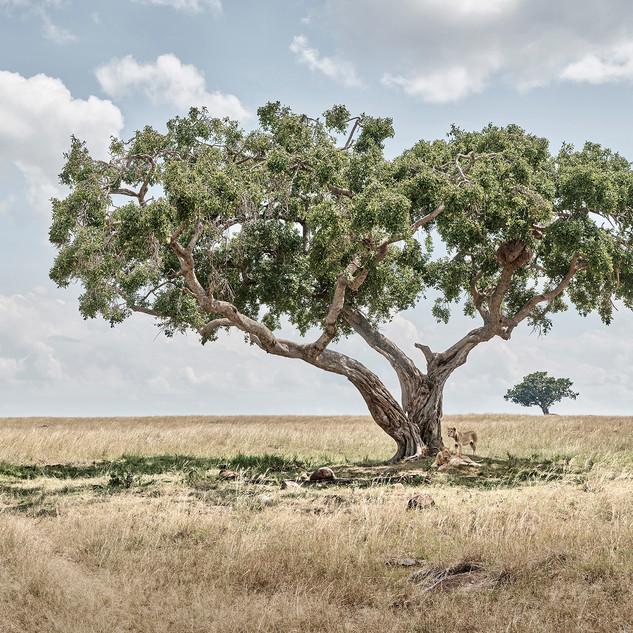 Lion Cubs Under Acacia Tree, Maasai Mara, Kenya 2019