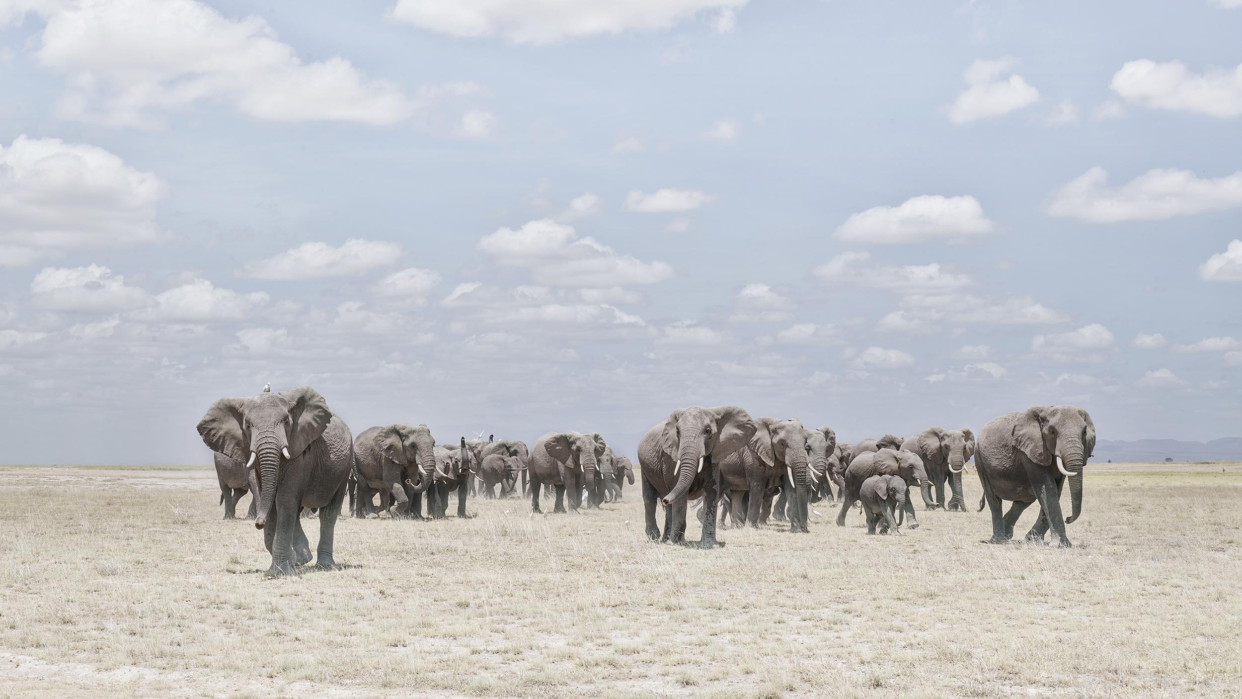Elephants  Crossing Dusty Plain, Ambosel