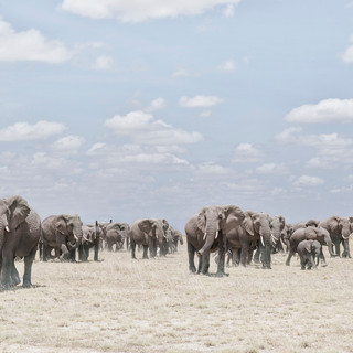 Elephants  Crossing Dusty Plain, Ambosel, Kenya 2019