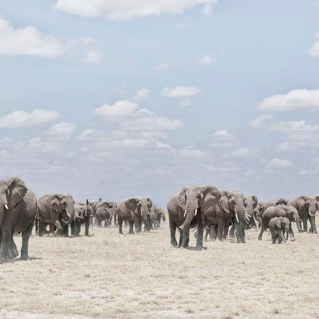 Elephants  Crossing Dusty Plain, Ambosel, Kenya 2019
