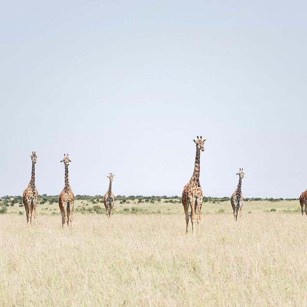 12 Giraffes, Maasai Mara, Kenya 2018