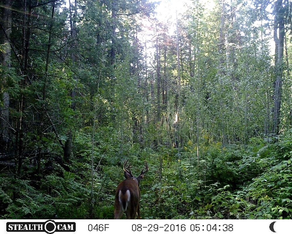 Beautiful buck passing through