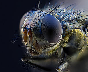 focus stacked fly.jpg