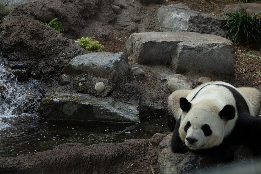 panda_amandadevenney