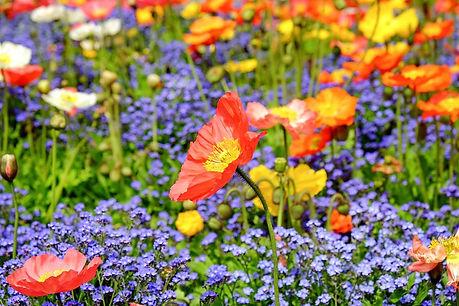 poppy-1346086_1280.jpg