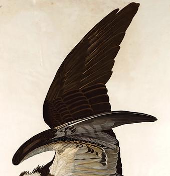 Osprey_Pandion_haliaetus_03.png