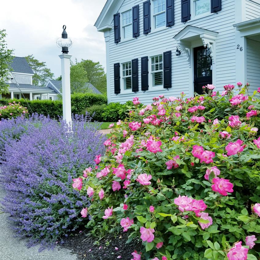 Cape Cod Purple Salvia and Roses