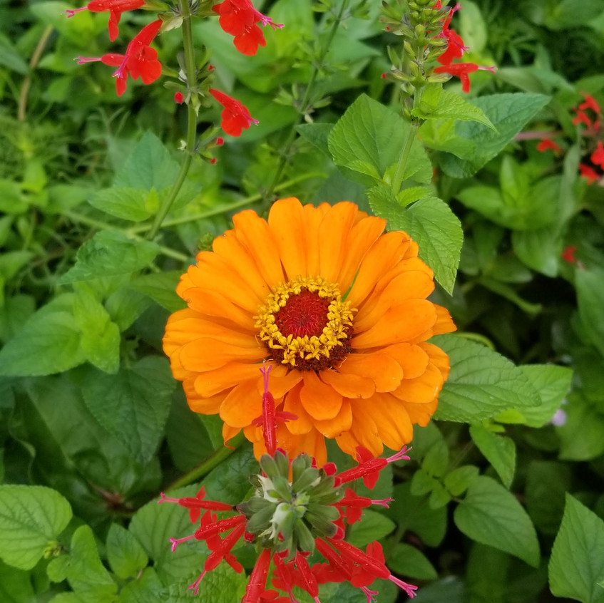 Orange zinnias